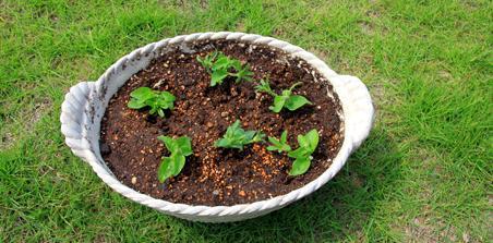 挿し 芽 ペチュニア